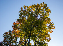 Autumn Natural Background - The Crown Of A Tree With Green, Yellow And Red Leaves Against The Blue Sky In The Rays Of The Morning Sun.