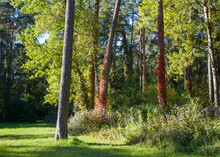 Outskirts Of Grodno, Belarus. Autumn Landscape: A Forest Glade With Pine And Deciduous Trees In The Sun, The Trunks Of Several Trees Are Entwined With Vines Of Wild Grapes With Red Leaves.