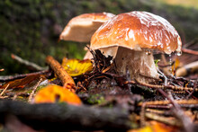 Boletus Or Porcini Fungi Mushroom In The Forest, Close-up.