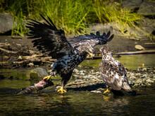 Bald Eagle (Haliaeetus Leucocephalus) Fishing Along The Shores Of Auk Bay Near Juneau, Alaska's Inside Passage