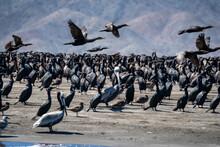 Cormorants On Beach, Baja California Sur, Magdalena Bay, Mexico