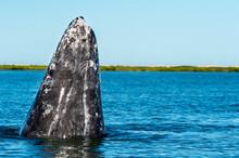 Gray Whale Spy Hopping