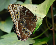 With Its Wings Closed, The Blue Morpho Butterfly Shows An Incredible Pattern To Distract Potential Predators.