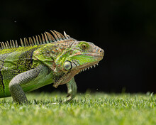 Green Iguana (Iguana Iguana) On The Grass.