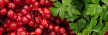 Viburnum Red Berries (guelder Rose) And Parsley Leaves. Wide Panoramic Texture With Red Fruits Of Viburnum On Twigs And Green Parsley. Autumn Harvest. Closeup. Natural Background Is Perfect For Design