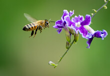 Closeup Shot Of A Bee Hovering Around A Purple Flower