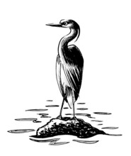 Ink Black And White Drawing Of A Heron Bird Sitting On A Rock In Water