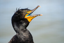 Close-up Head Of A Double-crested Cormorant (phalacrocorax Auritus) With An Open Beak.