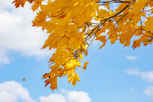 A Yellow Branch Of An Autumn Maple On A Blue Sky Background
