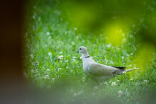 A Eurasian Collared Dove Walking In The Meadow