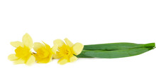 Narcissus Isolated On A White Background