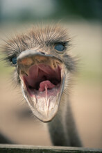 The Ostrich Screams Indignantly At The Camera