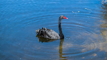 Black Swans Swimming In A Pond In A Sydney Park NSW Australia