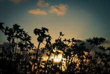 Silhouettes Of Some Plants With The Sunset Light. Holiday Landscape. Golden Clouds In The Sky. Selective Focus.