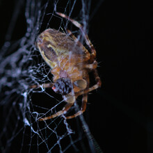 Garden Spider (Araneus Diadematus) AKA Crowned Orb Waever Feeding On Its Web