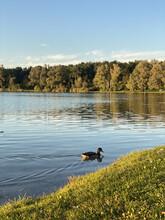Lone Mallard Duck Floating On A Calm Lake Under A Bright Sunny Sky