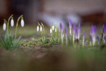 Selective Focus Shot Of Snowdrops From Family Amaryllidaceae Crocus, Growing From Corms