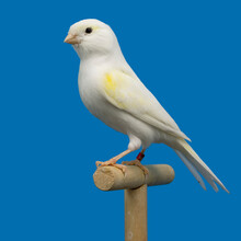 White And Yellow Canary Perched In Softbox