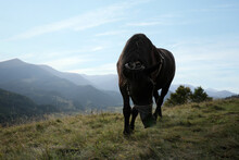 Dark Horse With Tack Grazing On Grassy Hill In Mountains. Beautiful Pet
