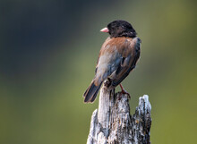 Dark-eyed Junco, Junco Hyemalis, Perching On An Old Stump At A Lake In Oregon, USA  With A Dark Background With Natural Light.
