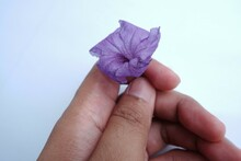An Asian Man's Hand Holds A Purple Flower Called Morning Glory.