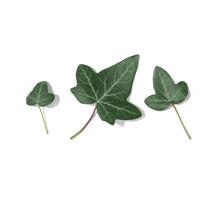 Three Green Ivy Leaves Isolated On White Background.