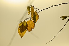 Yellow Fall Leaves Backlit By Golden Light.