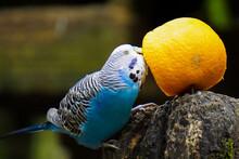 Closeup Of A Blue Common Parakeet Pecking An Orange