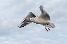 Seagull - London