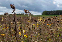 Dried Up Sunflowers In Autumn Colors In A Field