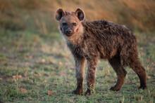 A Hyena In The Mara, Africa