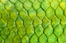 Fish Scales Background, Texture Of Fish Close Up. Reptile Skin.