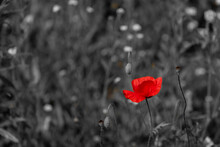 Selective Focus Of Red Poppies Flower In The Green Meadow With Black And White Tone, Poppy Is A Flowering Plant In The Subfamily Papaveroideae Of The Family Papaveraceae., Nature Floral Background.