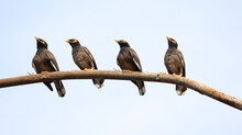Four Mynas Are Sitting On The Iron Bar