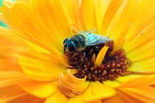 A Close-up Of A Bee Pollinating An Orange Pot Marigold Flower, Blurred Green Background