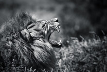 Side Portrait Of A Male Lion Yawning Roaring Mouth Open Black And White