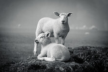 Two Lambs On Sitting On A Tree Stump One Standing Misty Day One Looking At The Camera