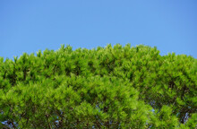 Treetop Of Evergreen Pine Tree Full Of Green Pine Needles On The Blue Sky Background