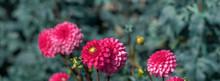 Banner Dahlia Pink Flower In Beautiful Garden.