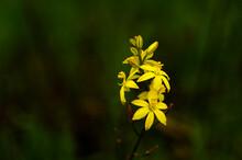 Native Leek In Flower