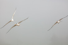 White Snowy Plovers Flying Over A Beach On A Foggy Day
