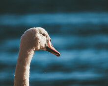 Head Of Beautiful White Swan Photographed From Behind With Blue Background
