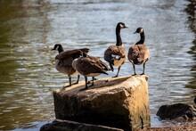 Ducks On The Rock