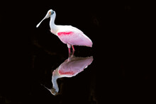 Roseate Spoonbill Reflecting Against Black Background