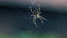 Araneus Spider On Its Web