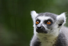 A Close Up Of The Head And Face Of A Madagascan Ring Tailed Lemur With Copy Space To The Left