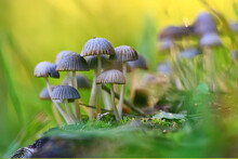 Small Inedible Mushrooms, Poisonous Mushrooms Forest Background Macro Nature Wild