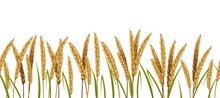 Realistic Wheat. Cereals Agriculture Horizontal Border Seamless Pattern. Vector Illustration Isolated Background With Spike Wheats