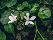 Murraya Paniculata, Commonly Known As Orange Jasmine, Orange Jessamine, China Box Or Mock Orange, Is A Species Of Shrub Or Small Tree In The Family Rutaceae.