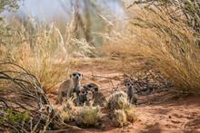 Meerkat Famliy Group Bonding And Playing In Kgalagadi Transfrontier Park, South Africa; Specie Suricata Suricatta Family Of Herpestidae
